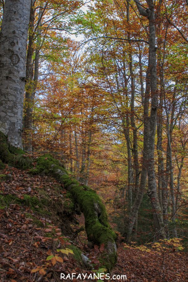 El Otoño en el Bosque de Betato (Huesca)