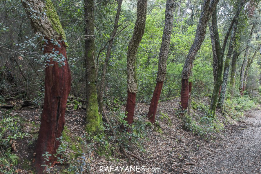 Ruta: Turó de Montsoriu ( 633 m.) (Els 100 Cims)